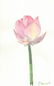 Lotus Flower Partially Open