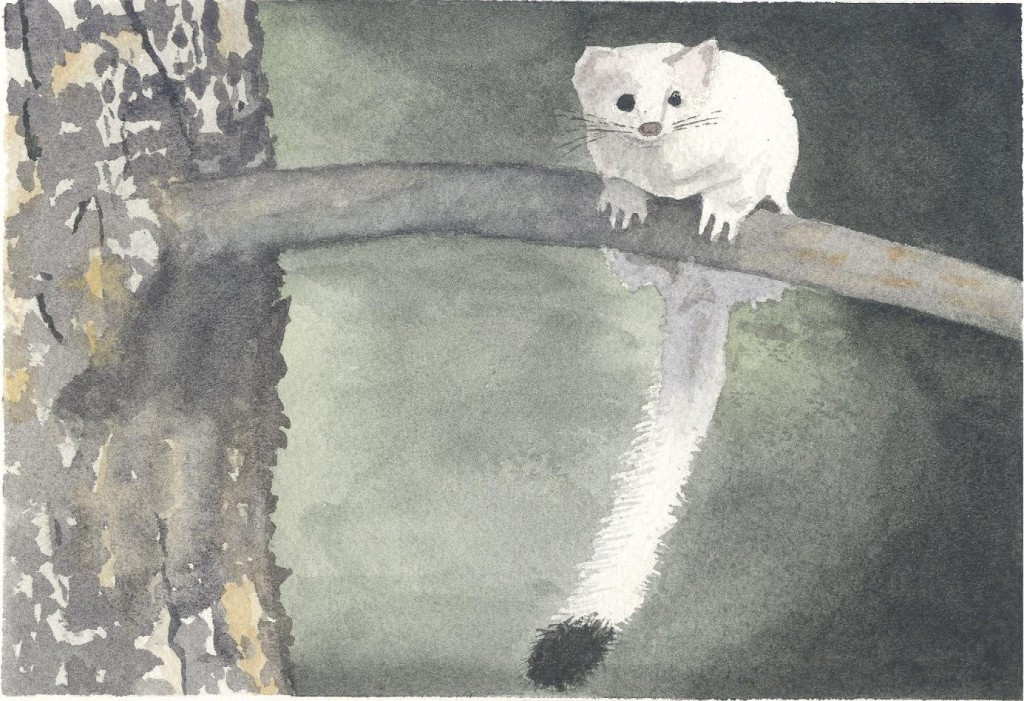 Unhindered Weasel #2