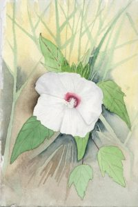 Swamp Rose Mallow