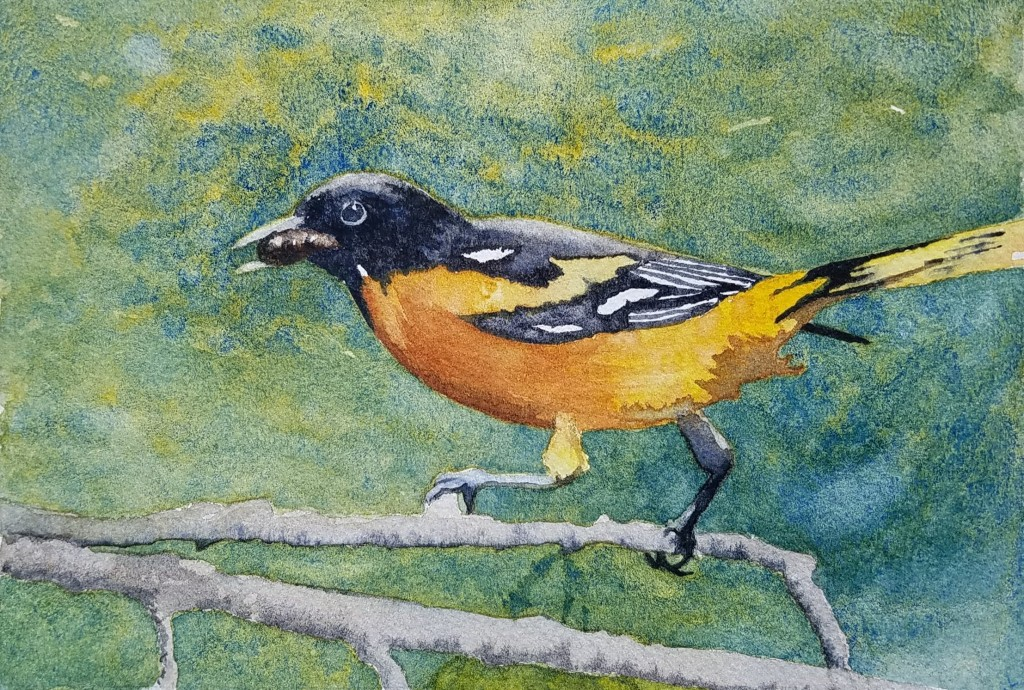 Baltimore Oriole with a Grub